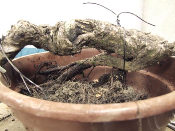 Scots pine Sylves10