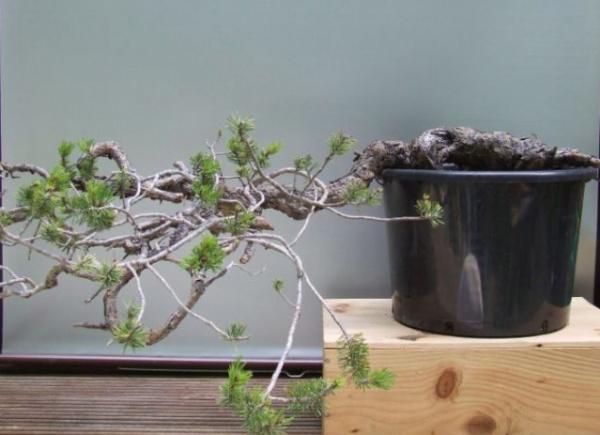 Scots pine Yamado10