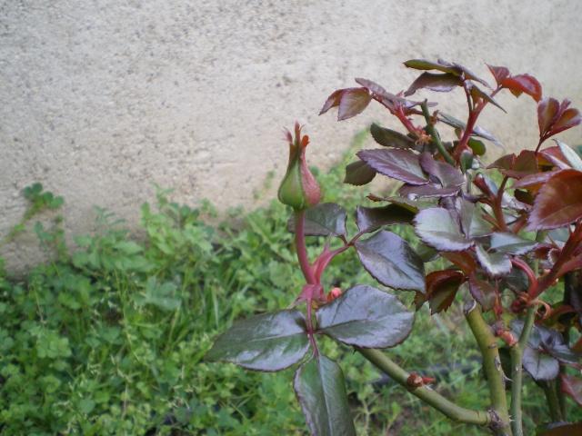 le royaume des rosiers...Vive la Rose ! 9_mars11