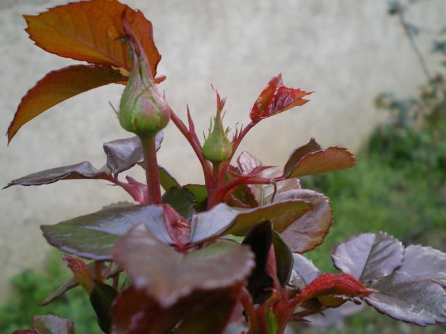 le royaume des rosiers...Vive la Rose ! 9_mars12