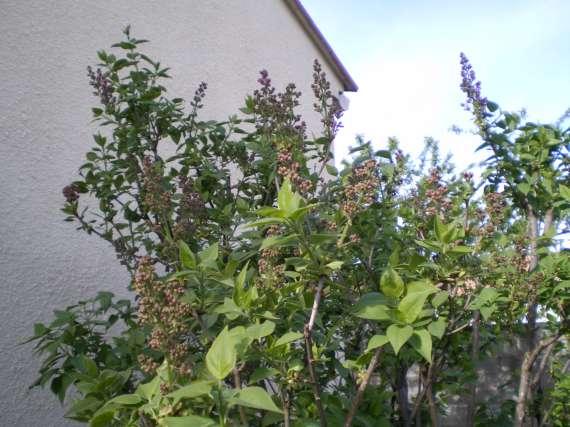 floraisons des arbres et des arbustes Le_30_15