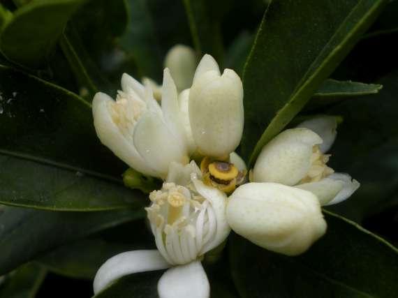 floraisons des arbres et des arbustes Le_3_a11