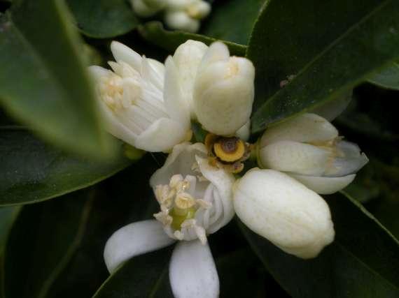floraisons des arbres et des arbustes Le_3_a12