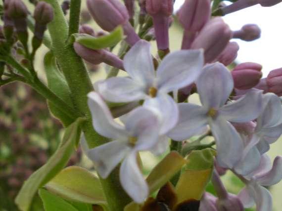 floraisons des arbres et des arbustes Le_3_a13