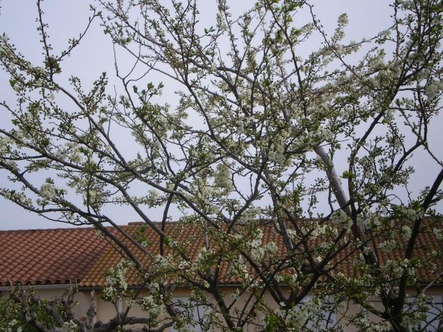 Floraisons de Mars Prunie10
