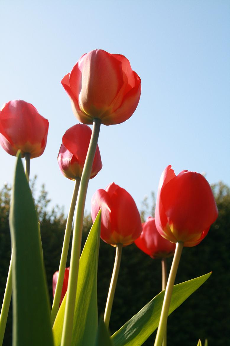 Tulipes Copie_28