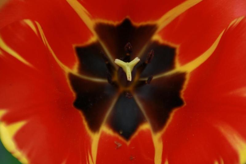 Tulipes Copie_30