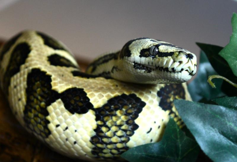Quelques clichés de mes pythons (suite) Img_2211