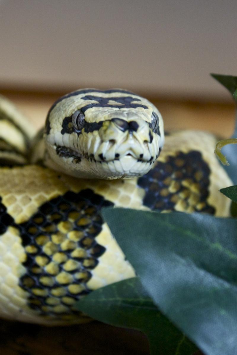 Quelques clichés de mes pythons (suite) Img_2212