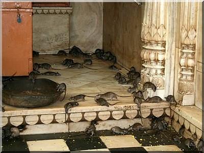 Temple de Karni Mata , Deshnok , INDE Rats1_10