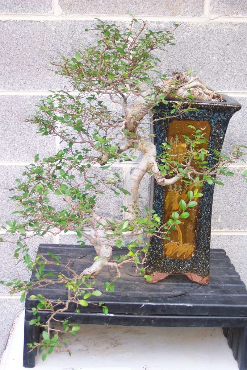 Changed the pot for Cascade Chinese Elm. 6-20-118