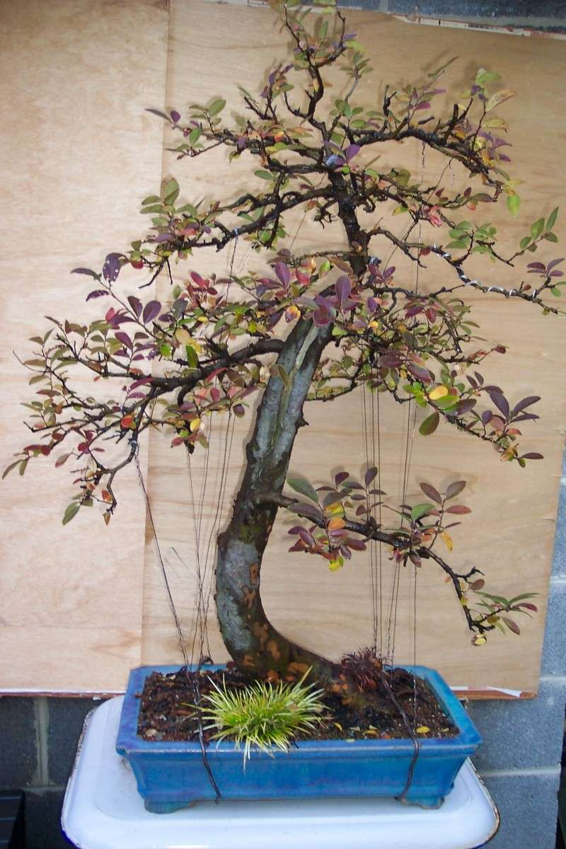 Fall color on this Chinese Elm is striking to me! Fall_c10