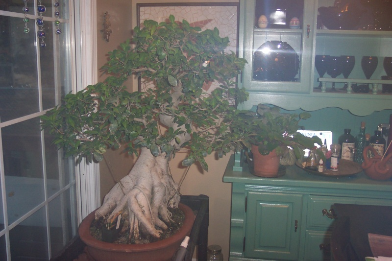 Sharing my Ficus and Chinese Elm Feb_el15