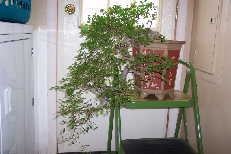 Sharing my Ficus and Chinese Elm Feb_el16