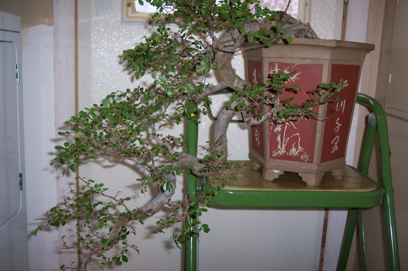 Sharing my Ficus and Chinese Elm Feb_el17