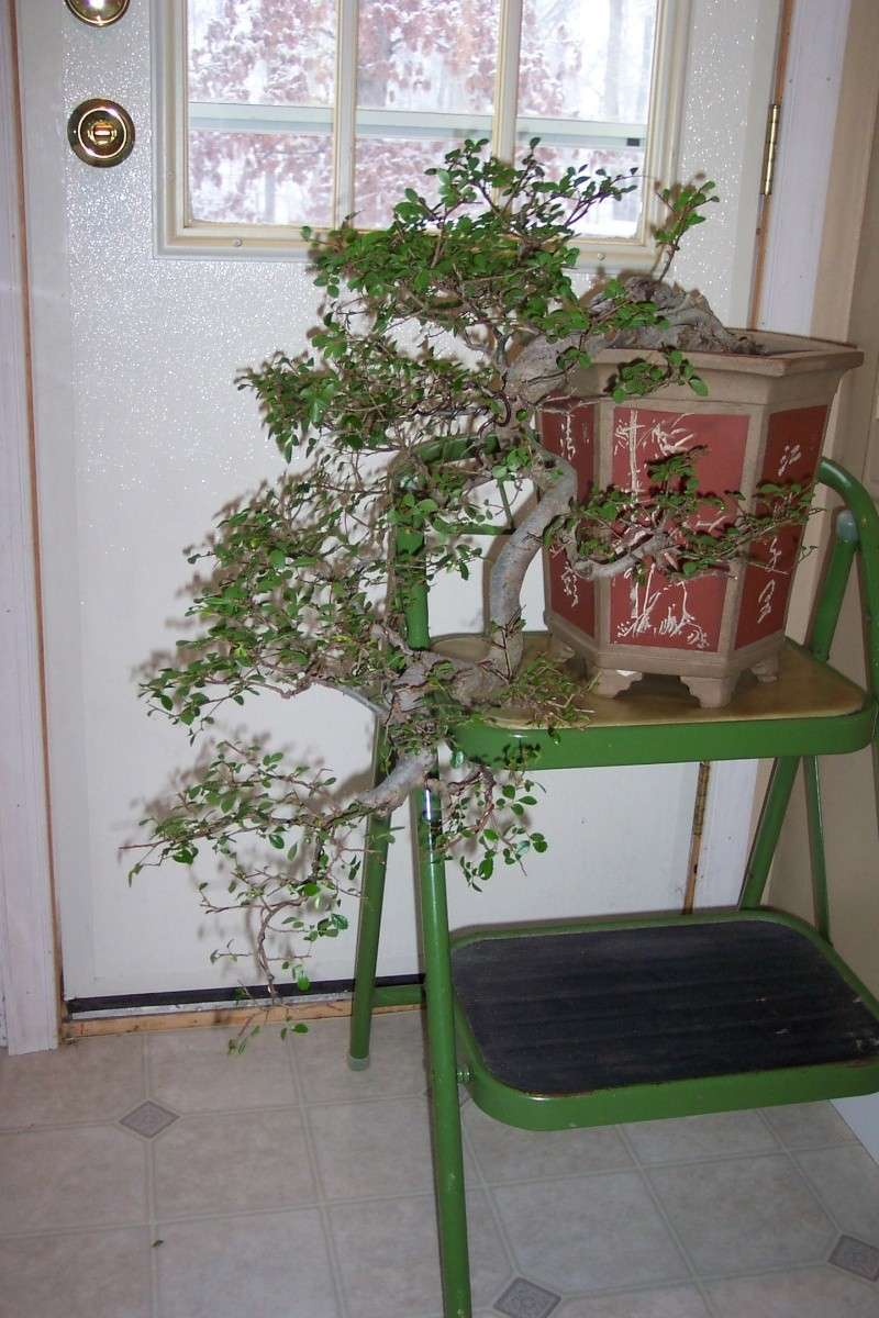 Changed the pot for Cascade Chinese Elm. Feb_el20