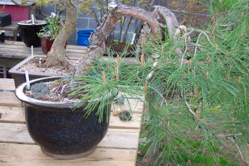 Trying to decide on a front for Weeping Red Pine; which side is better? Spring14