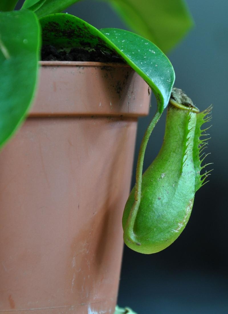 Velvet : un nouvel hybride en jardinerie? 2_velv10
