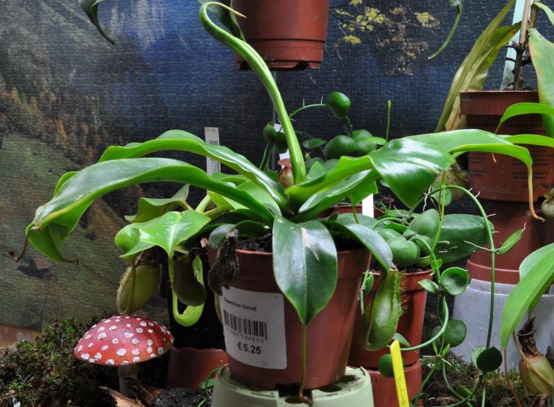 Velvet : un nouvel hybride en jardinerie? 3_velv11