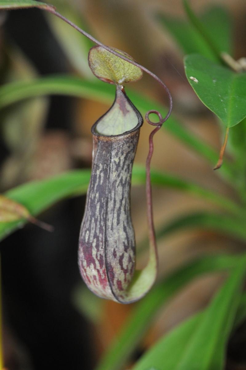 Mon Nepenthes Adnata Adnata13