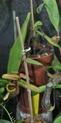 Mon Nepenthes Adnata Adnata10