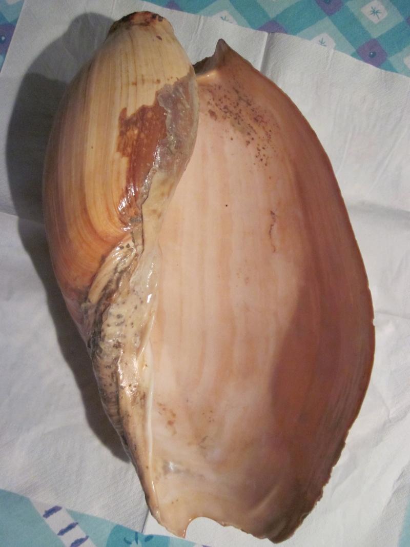 Cymbium glans - (Gmelin, 1791) Img_7724