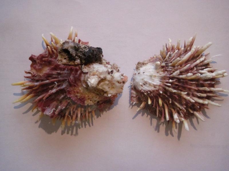 Merci de bien vouloir ré-identifier ces deux spondyles S.echinosus probables Img_7735