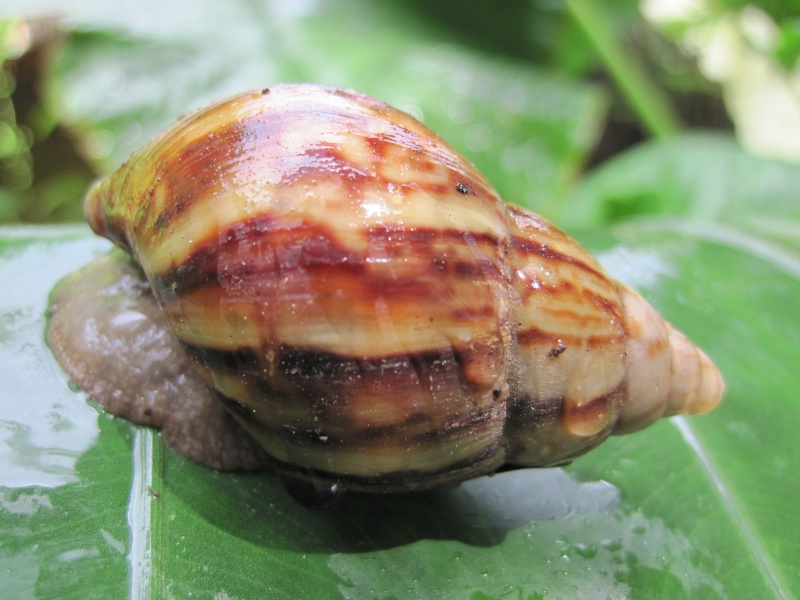 Escargots de Bali Img_8910