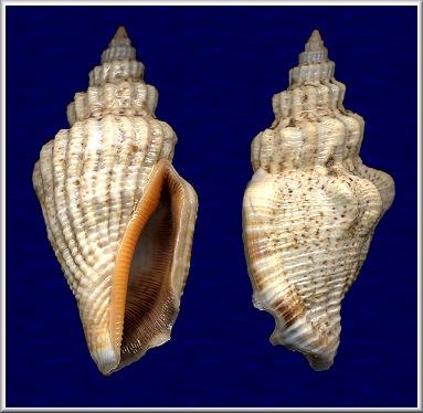 Canarium urceus - (Linnaeus, 1758)  Labo10