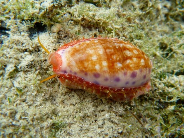 Ovatipsa chinensis - (Gmelin, 1791) - Live P1000710