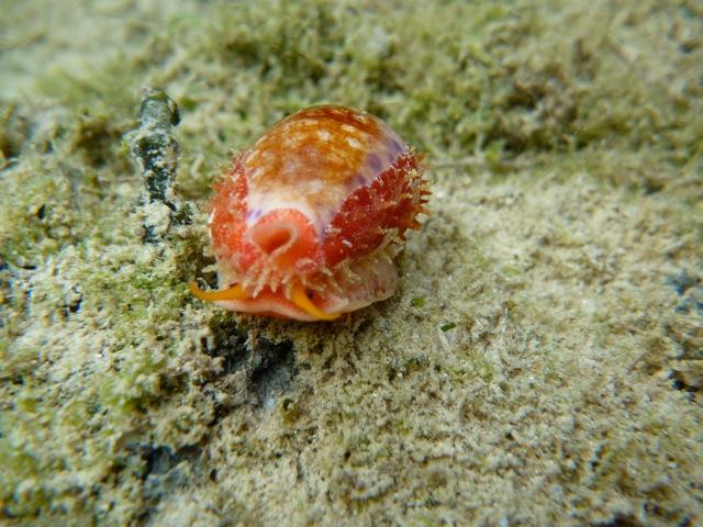 Ovatipsa chinensis - (Gmelin, 1791) - Live P1000711
