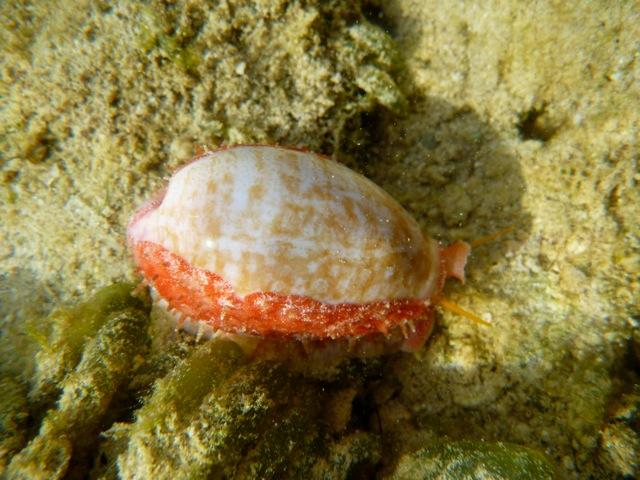 Ovatipsa chinensis - (Gmelin, 1791) - Live P1010712