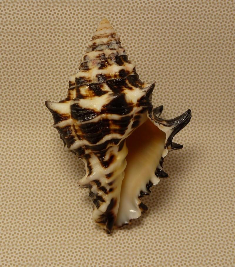 Vasum ceramicum - (Linnaeus, 1758) P1020213