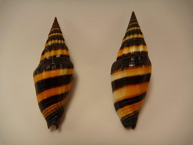 Vexillum vulpecula - (Linnaeus, 1758) P1020417