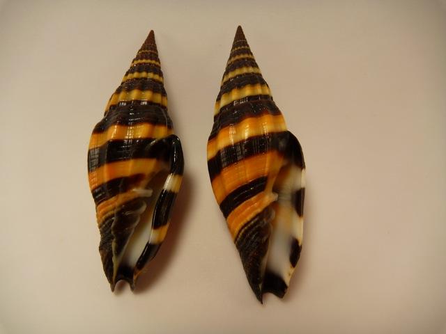 Vexillum vulpecula - (Linnaeus, 1758) P1020418