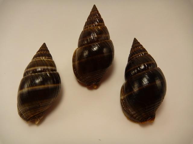 Nassarius olivaceus - (Bruguière, 1789) P1020419