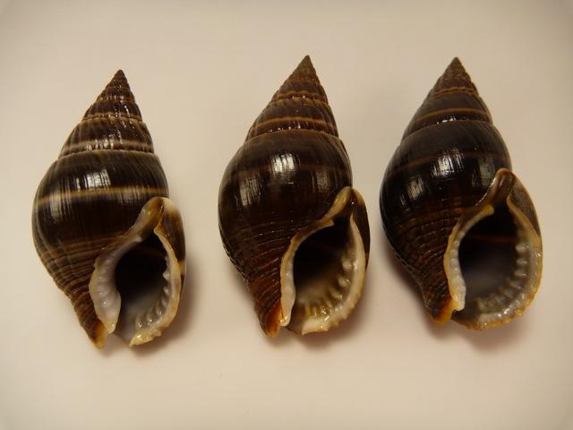 Nassarius olivaceus - (Bruguière, 1789) P1020420