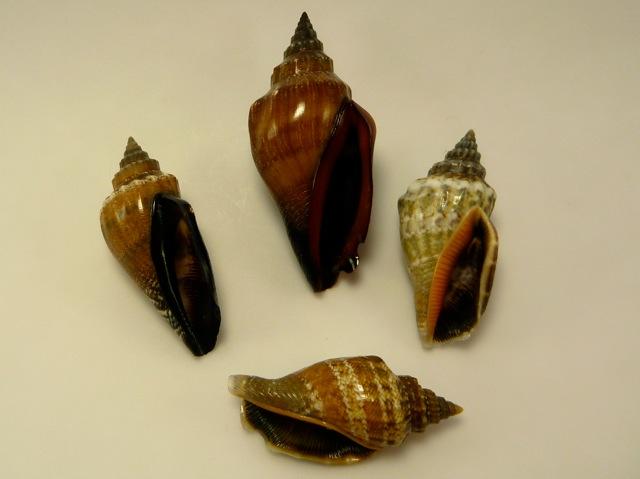Canarium urceus - (Linnaeus, 1758)  P1020511