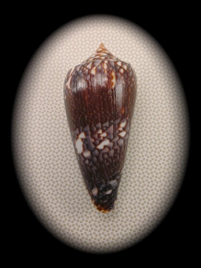 Conus (Phasmoconus) lienardi  Bernardi & Crosse, 1861 Pict0010