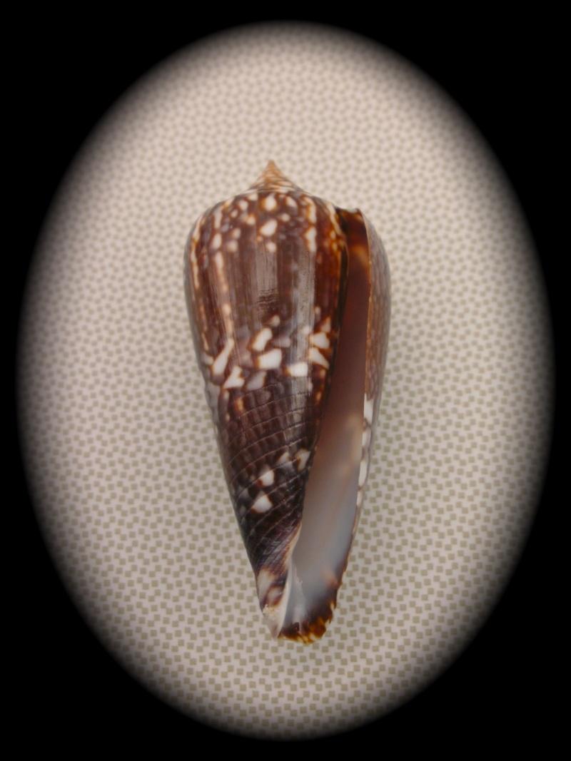 Conus (Phasmoconus) lienardi  Bernardi & Crosse, 1861 Pict0011