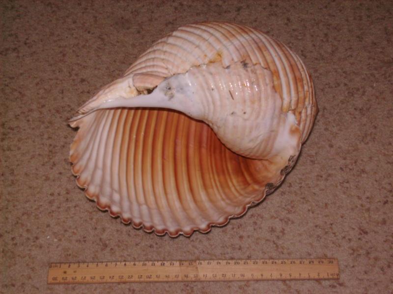 Tonna galea - (Linnaeus, 1758) Tonna_11