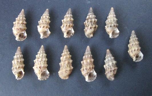 Cerithium du golfe de Gabbès (Tunisie) 0008_c10