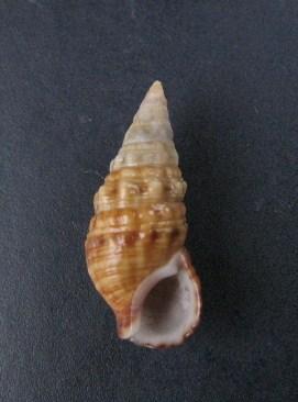 Cerithium du golfe de Gabbès (Tunisie) 0109_c10