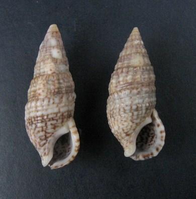 Cerithium du golfe de Gabbès (Tunisie) 0109_c11