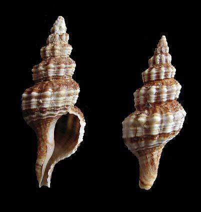 Aptyxis syracusana - (Linnaeus, 1758) 0113_f10
