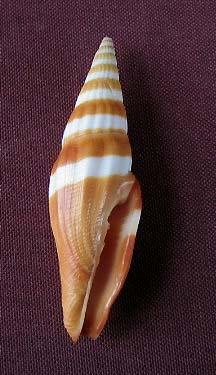 Vexillum taeniatum - (Lamarck, 1811) 0133_v10