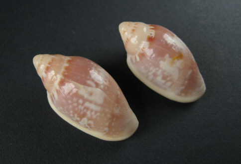 Marginella (Lamarck, 1799) - Pour les collectionneurs de Marginelles 0139_m10