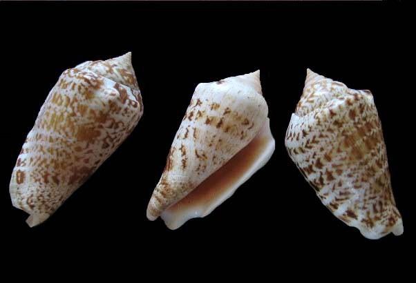 Conomurex persicus - (Swainson, 1821) 0279_s10