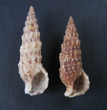 Cerithium du golfe de Gabbès (Tunisie) 0312_c10