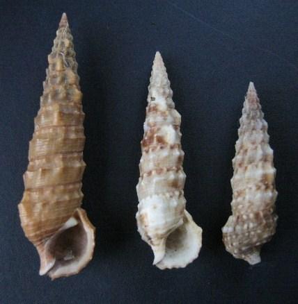 Cerithium du golfe de Gabbès (Tunisie) 0312_c11